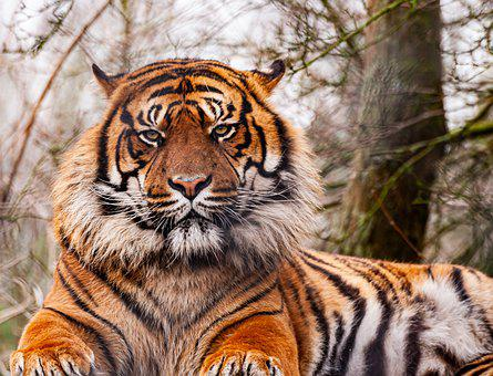 Tiger, Animal, Zoo, Large Cat, Whiskers, Stripes