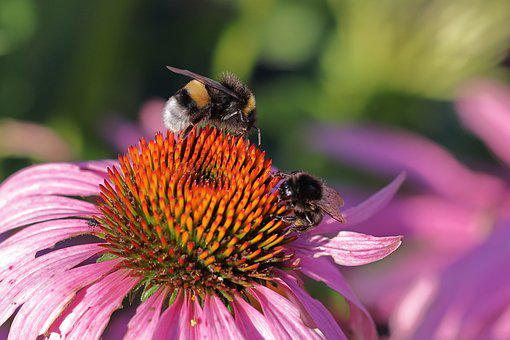 Flower, Bumblebee, Pollination, Nature, Insect
