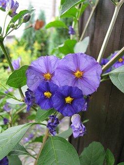 Clematis, Flowers, Blue Flowers, Petals, Blue Petals