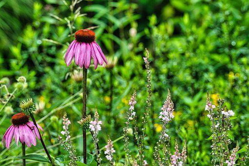 Coneflowers, Bloom, Botany, Flowers, Blossom, Growth