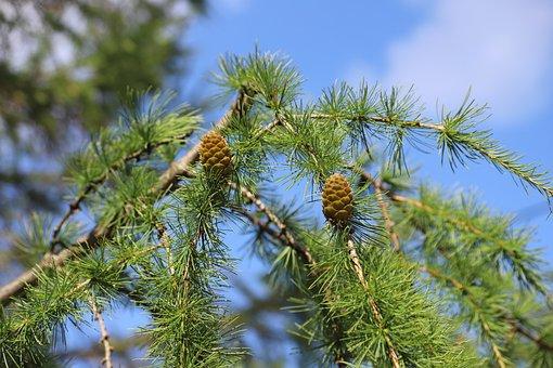 Tree, Spruce, Cones, Pine Cones, Pine Tree, Conifer