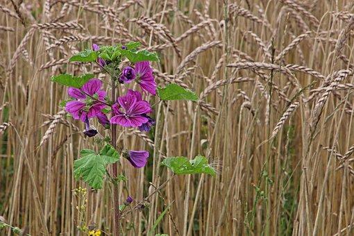 Flowers, Grain, Field, Agriculture, Grain Field, Rural