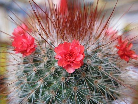 Cactus, Plant, Blossom, Bloom, Spur, Flower, Flora