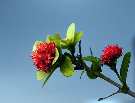 West Indian Jasmine, Flowers, Plant, Ixora, Red Flowers