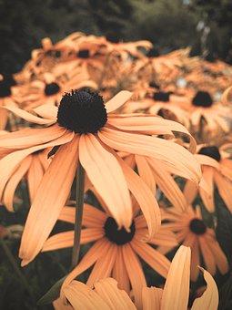 Coneflowers, Yellow, Flowers, Meadow, Garden, Nature