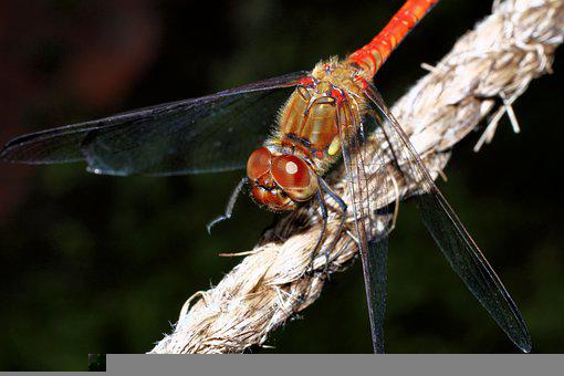 Dragonfly, Insect, Macro, Wings, Dragonfly Wings