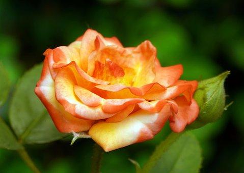 Flower, Rose, Orange Rose, Rose Bloom, Petals