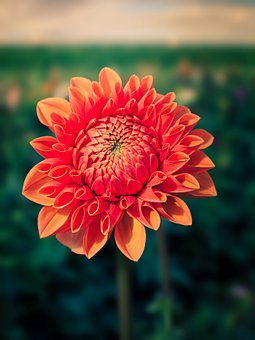 Chrysanthemum, Flower, Orange Flower, Petals