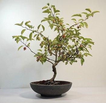 Tree, Bonsai, Plant, Potted Plant, Green