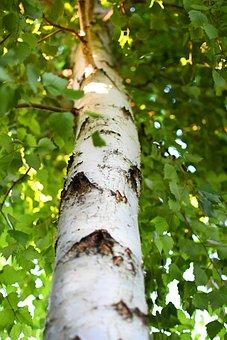 Birch, Bark, Trunk, Wood, Leaves, Foliage, Greens