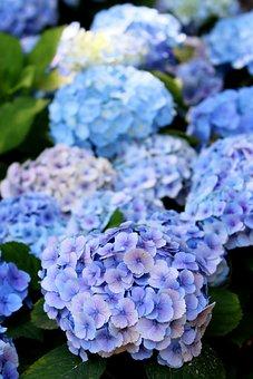Hydrangea, Flowers, Blue Hydrangea, Garden, Petals