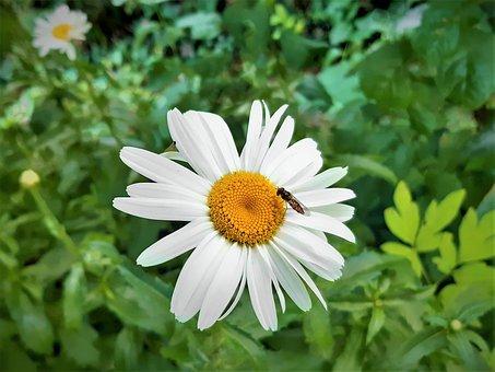 Marguerite, Flower, White Flower, Shrub, Fly, Insect