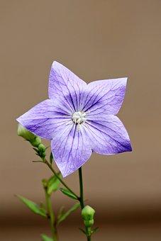 Bellflower, Flower, Balloon Flower, Plant, Garden