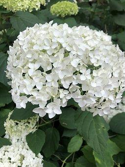 Hydrangea, Flowers, White Hydrangea, White Flowers