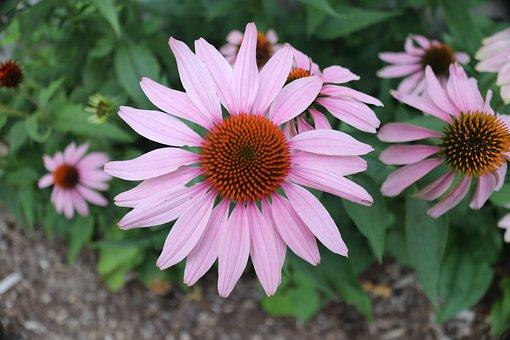 Coneflowers, Flowers, Pink Flowers, Petals, Pink Petals