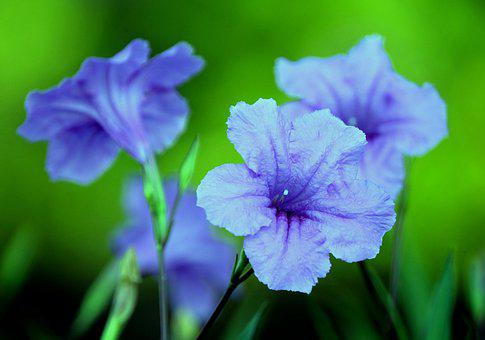 Petunias, Flowers, Ruellias, Blue Flowers, Petals