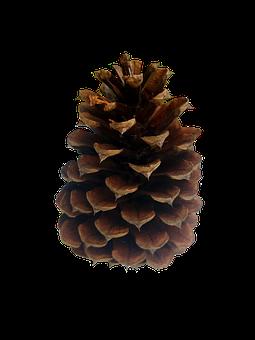 Pine Cone, Conifer, Nature, Conifer Cone, Cutout