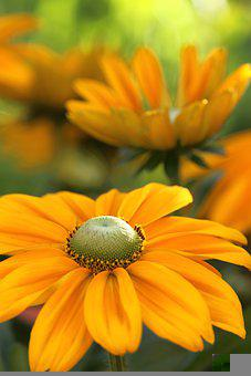 Coneflower, Flower, Petals, Rubber Stamp, Stamen, Plant