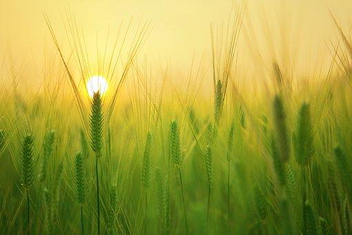 Wheat, Field, Sunrise, Sunset, Sun, Sunlight, Sunshine