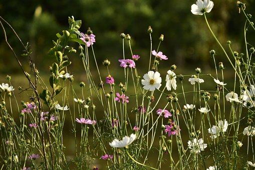 Flower Love, Bloom, Daisy, Blossom, Nature, White