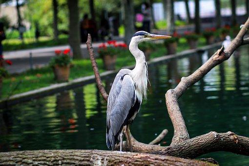 Great Blue Heron, Bird, Park, Wilhelma Zoo, Germany