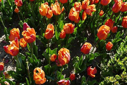 Flowers, Tulips, Spring, Season, Yard, Garden, Bloom