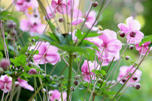 Flower, Anemone, Botany, Pollen, Flora, Blossom, Growth