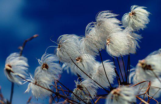 Clematis, Seed Heads, Nature, Plants, Wildflowers