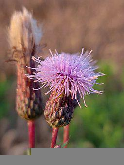 Thistle, Flower, Purple Flower, Bloom, Blossom, Flora