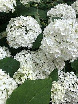 Hydrangea, White, Flowers, Blossom, Bloom, Nature