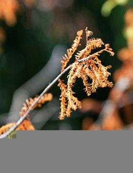 Twig, Conifer, Needles, Dried, Leaves, Nature