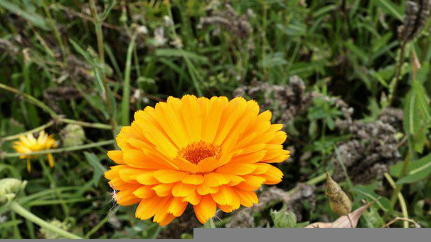 Pot Marigold, Calendula, Flower, Nature, Plant, Flora