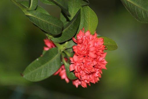 Flower, Ixora Coccinea, Plant, Petals, Pot Plant