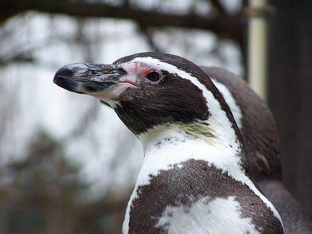 Penguin, Animals, Humboldt Penguin, Peruvian Penguin