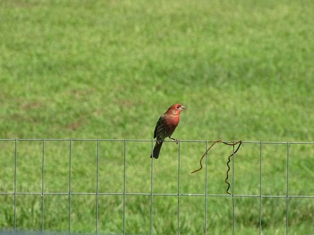 House Finch, Fence, Bird, Fly, Wings, Feather, Wildlife
