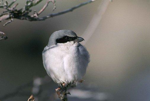 Ludovicianus, Lanius, Branch, Bird, Shrike, Loggerhead