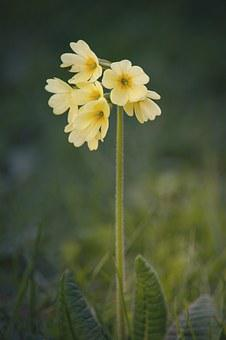 Cowslip, Flower, Pointed Flower, Yellow, Spring