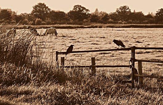 Crow, Bird, Wildlife, Nature, Corvus, Birds On A Fence