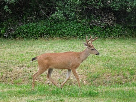 Deer, Running, Field, Nature Shot, Deer In Woods