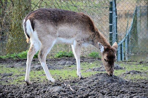 Deer, Animals, Mammals, Wildlife, Grazing, Feeding