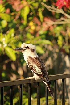 Kookaburra, Wildlife, Australian, Fence, Bird, Nature