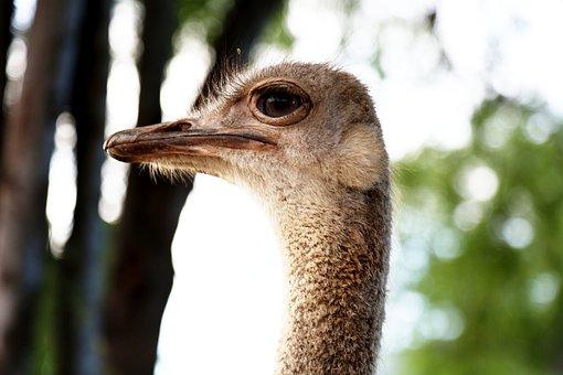 Ostrich Head, Bird, Land Animal, Giant Bird, Looking