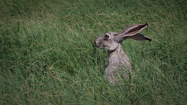 Jack Rabbit, Wildlife, Grass, Rabbit, Jack, Mammal