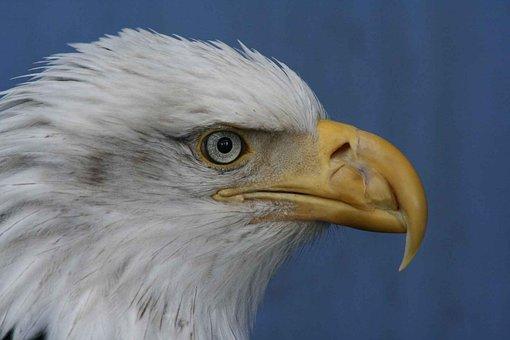 Face, Leucocephalus, Haliaeetus, Bald, Eagle, Birds