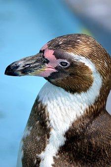 Penguin, Glasses Penguin, Humbo, Humboldt Penguin