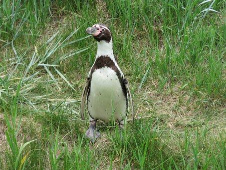 Humboldt Penguin, Penguin, Humboldt, Zoo, Bird, Black
