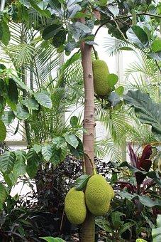 Durian, Jack Fruit, Tree, Botanical Garden, New Zealand
