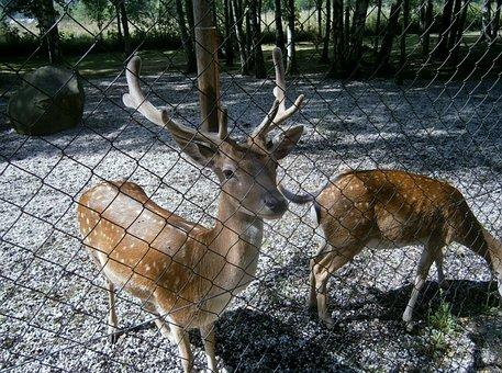 Hart, Zoo, Behind The Fence, Wildlife, Jelinek, Roe