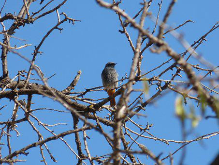 Black Redstart, Branches, Tree, Lookout, Winter