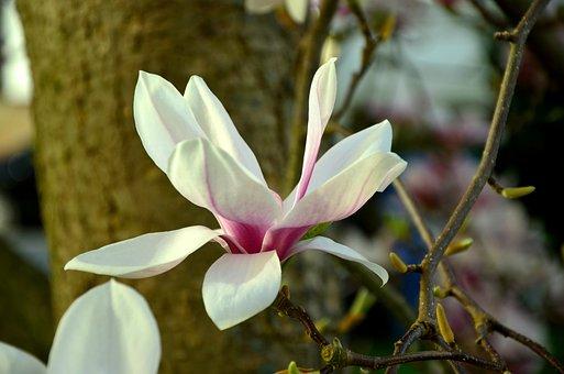 Magnolia, Magnolia Blossom, Blossom, Bloom, Flowers